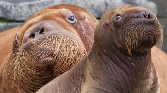 walrus-mom-baby.ngsversion.1412282863441.adapt.1900.1